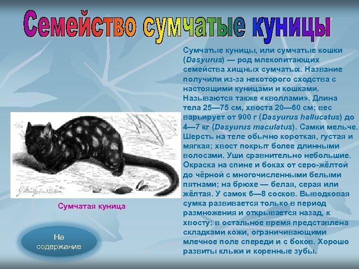 Сумчатая куница На содержание Сумчатые куницы, или сумчатые кошки (Dasyurus) — род млекопитающих семейства