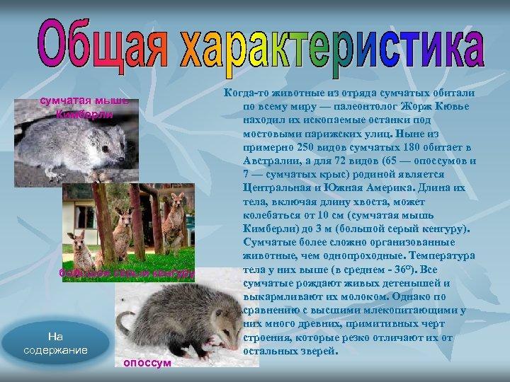 сумчатая мышь Кимберли большой серый кенгуру На содержание опоссум Когда то животные из отряда