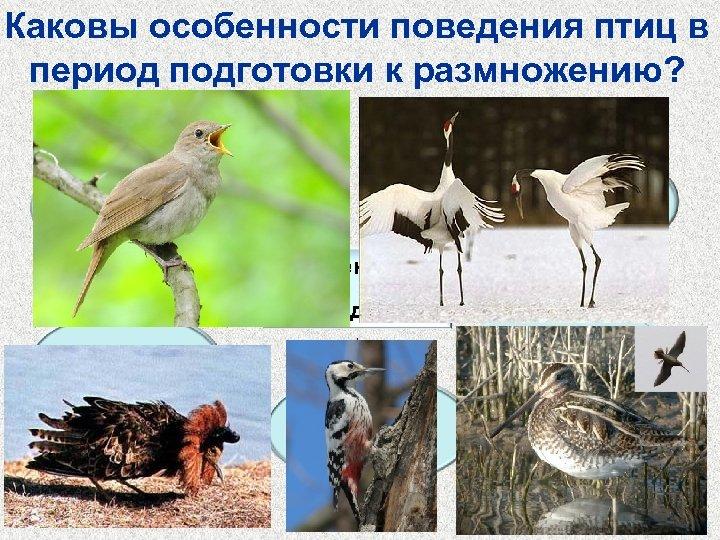 Каковы особенности поведения птиц в период подготовки к размножению? Турнирные соревнования самцов Брачные танцы