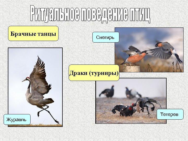 Брачные танцы Снегирь Драки (турниры) Журавль Тетерев