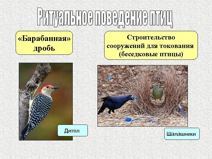 «Барабанная» дробь Дятел Строительство сооружений для токования (беседковые птицы) Шалашники