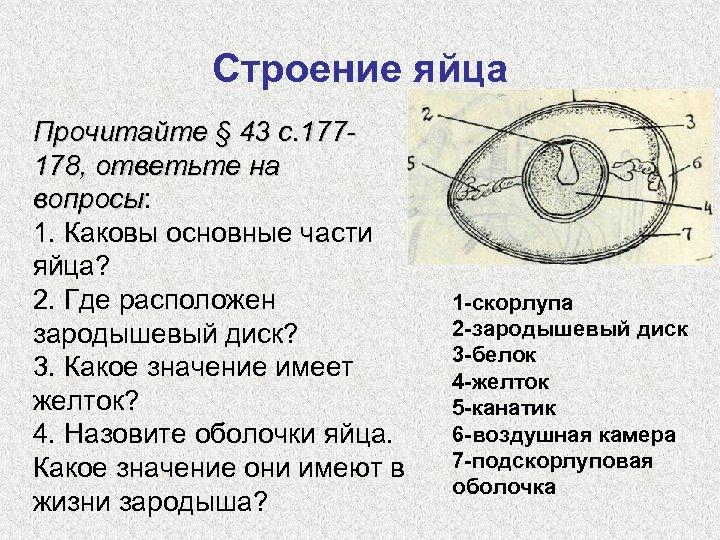Строение яйца Прочитайте § 43 с. 177178, ответьте на вопросы: вопросы 1. Каковы основные