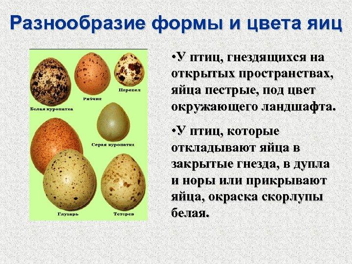 Разнообразие формы и цвета яиц • У птиц, гнездящихся на открытых пространствах, яйца пестрые,