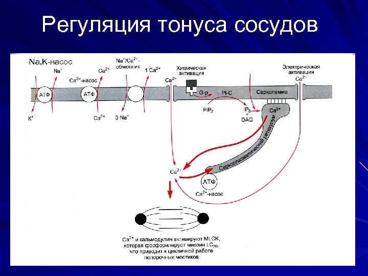 Регуляция тонуса сосудов Na, K-насос