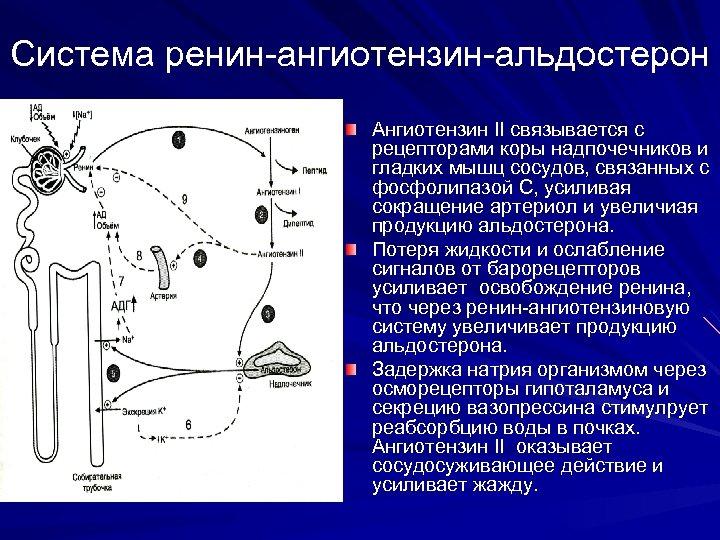 Система ренин-ангиотензин-альдостерон Ангиотензин II связывается с рецепторами коры надпочечников и гладких мышц сосудов, связанных