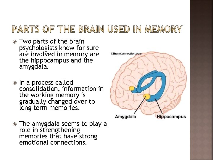 Two parts of the brain psychologists know for sure are involved in memory