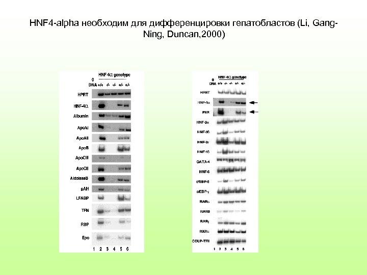 HNF 4 -alpha необходим для дифференцировки гепатобластов (Li, Gang. Ning, Duncan, 2000)