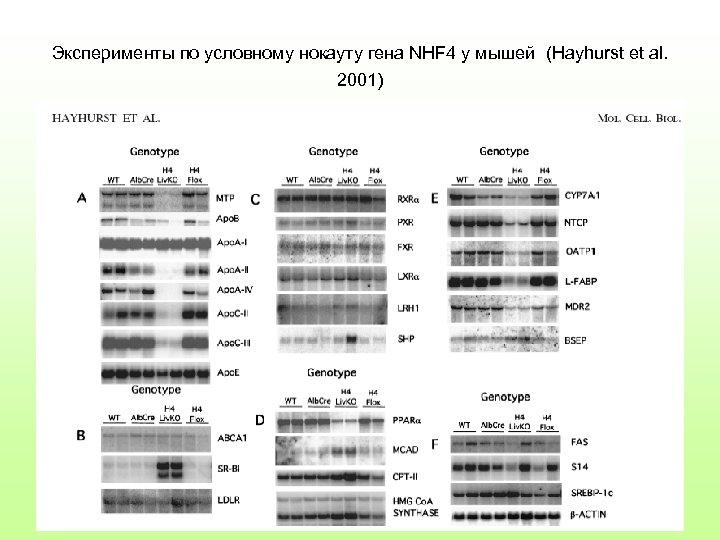 Эксперименты по условному нокауту гена NHF 4 у мышей (Hayhurst et al. 2001)
