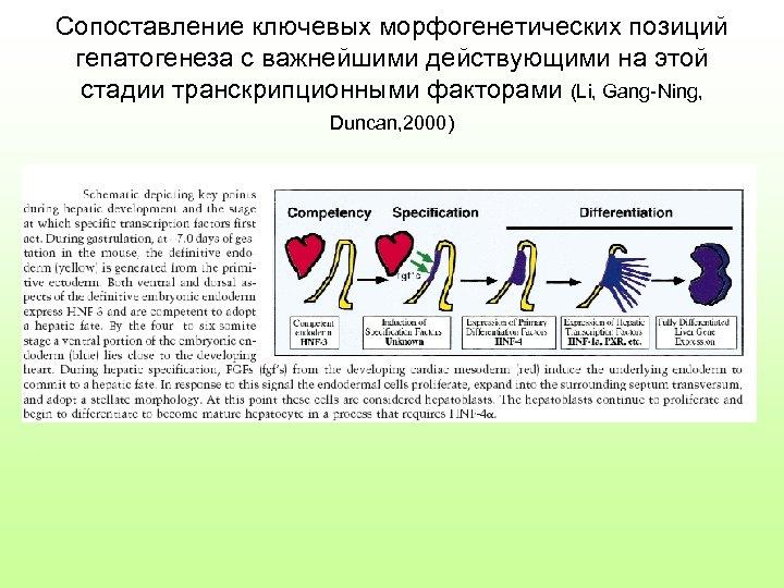 Сопоставление ключевых морфогенетических позиций гепатогенеза с важнейшими действующими на этой стадии транскрипционными факторами (Li,