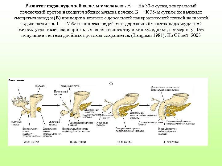 Развитие поджелудочной железы у человека. A — На 30 -е сутки, вентральный печеночный проток