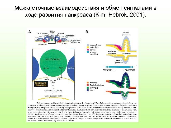 Межклеточные взаимодействия и обмен сигналами в ходе развития панкреаса (Kim, Hebrok, 2001).