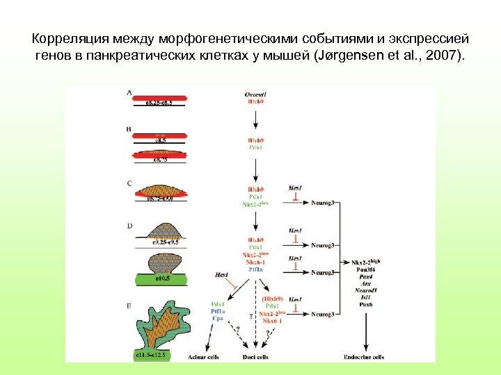 Корреляция между морфогенетическими событиями и экспрессией генов в панкреатических клетках у мышей (Jørgensen et