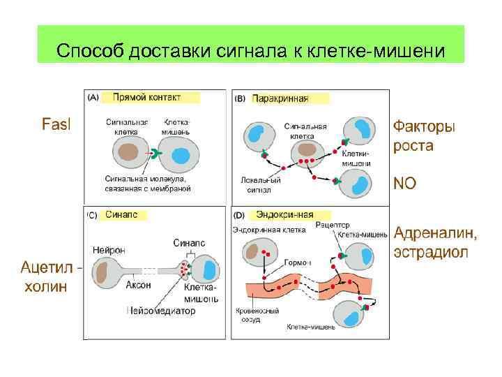 Способ доставки сигнала к клетке-мишени