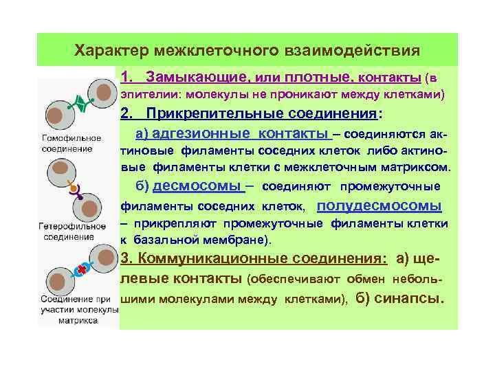Характер межклеточного взаимодействия 1. Замыкающие, или плотные, контакты (в эпителии: молекулы не проникают между