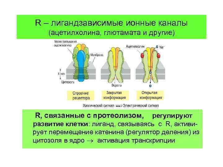 R – лигандзависимые ионные каналы (ацетилхолина, глютамата и другие) R, связанные с протеолизом, регулируют