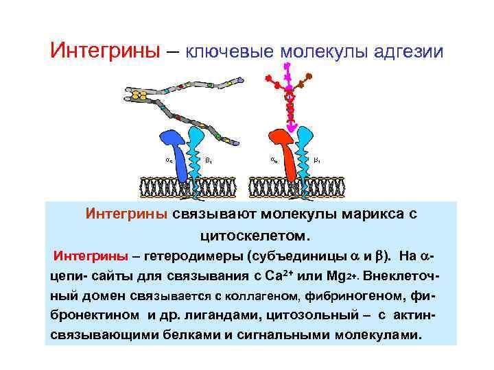 Интегрины – ключевые молекулы адгезии Интегрины связывают молекулы марикса с цитоскелетом. Интегрины – гетеродимеры