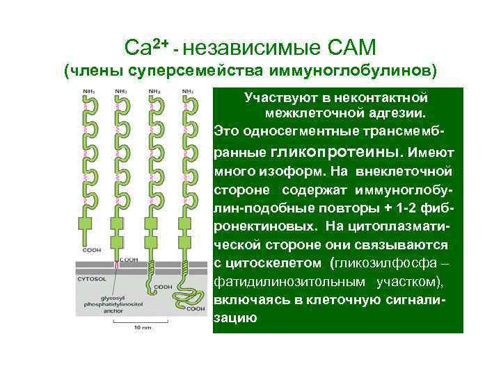 Са 2+ - независимые САМ (члены суперсемейства иммуноглобулинов) Участвуют в неконтактной межклеточной адгезии. Это