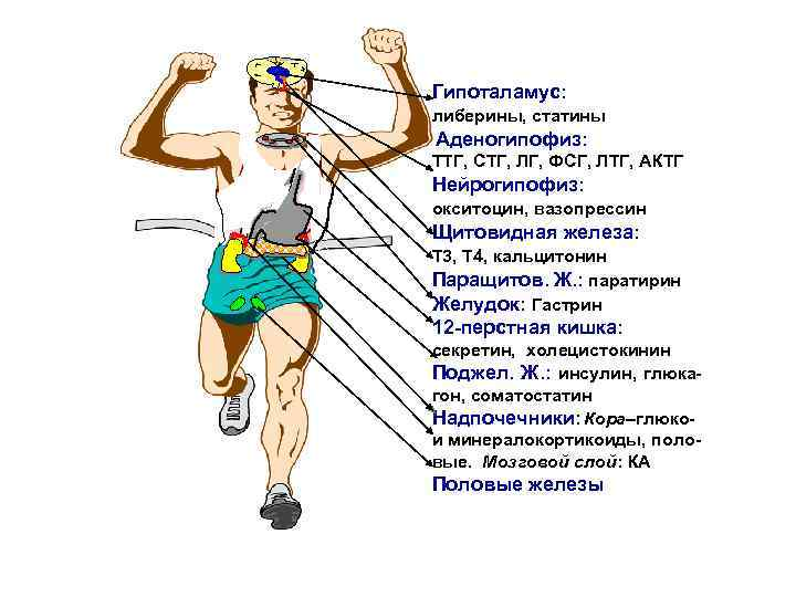 Гипоталамус: либерины, статины Аденогипофиз: ТТГ, СТГ, ЛГ, ФСГ, ЛТГ, АКТГ Нейрогипофиз: окситоцин, вазопрессин Щитовидная