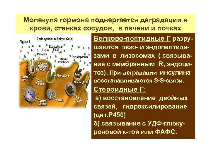 Молекула гормона подвергается деградации в крови, стенках сосудов, в печени и почках Белково-пептидные Г
