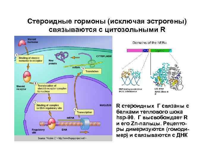 Стероидные гормоны (исключая эстрогены) связываются с цитозольными R R стероидных Г связаны с белками