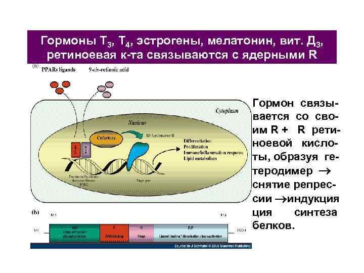 Гормоны Т 3, Т 4, эстрогены, мелатонин, вит. Д 3, ретиноевая к-та связываются с
