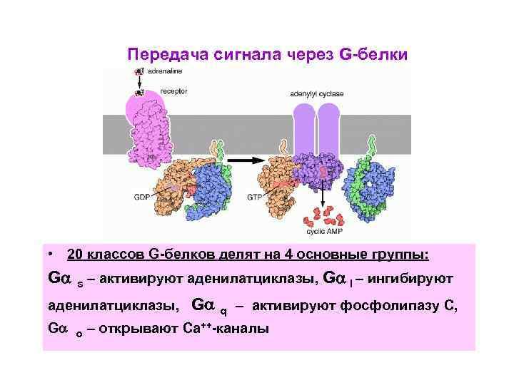Передача сигнала через G-белки • 20 классов G-белков делят на 4 основные группы: G