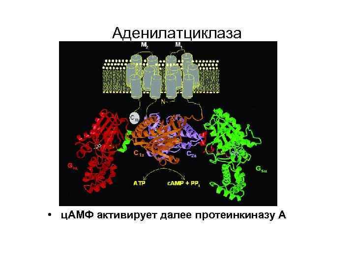 Аденилатциклаза • ц. АМФ активирует далее протеинкиназу А