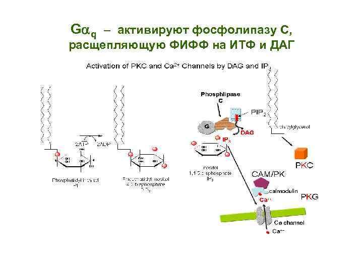 G q – активируют фосфолипазу С, расщепляющую ФИФФ на ИТФ и ДАГ