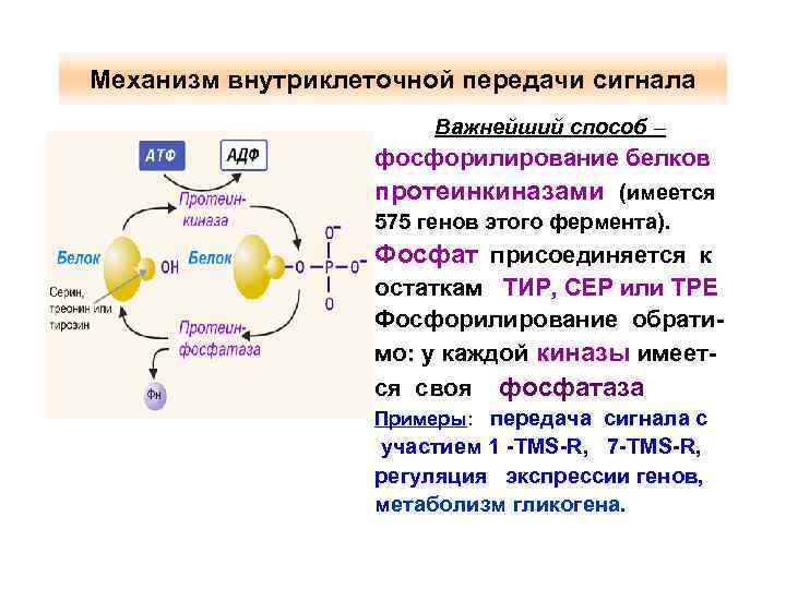 Механизм внутриклеточной передачи сигнала Важнейший способ – фосфорилирование белков протеинкиназами (имеется 575 генов этого