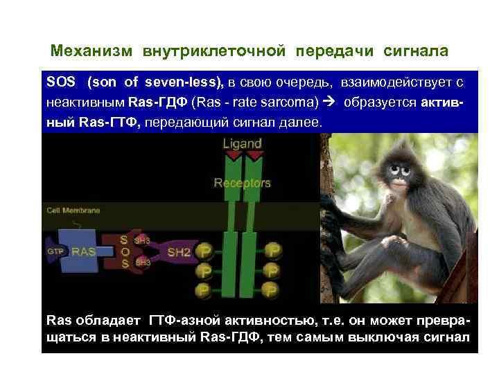 Механизм внутриклеточной передачи сигнала SOS (son of seven-less), в свою очередь, взаимодействует с неактивным