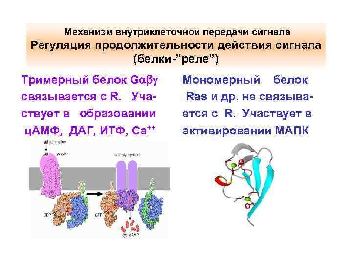 """Механизм внутриклеточной передачи сигнала Регуляция продолжительности действия сигнала (белки-""""реле"""") Тримерный белок G связывается"""