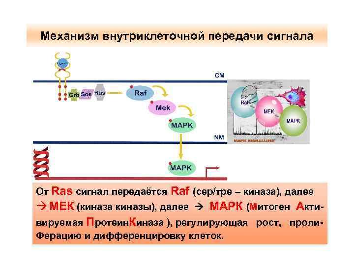 Механизм внутриклеточной передачи сигнала От Ras сигнал передаётся Raf (сер/тре – киназа), далее à