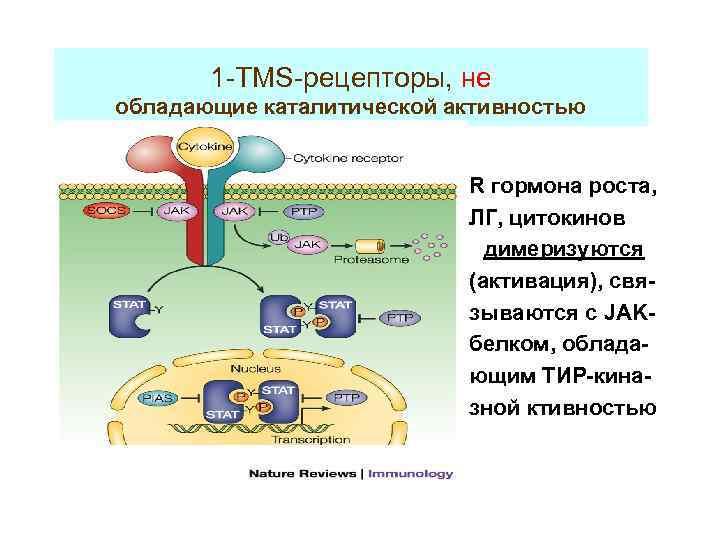 1 -TMS-рецепторы, не обладающие каталитической активностью R гормона роста, ЛГ, цитокинов димеризуются (активация), связываются