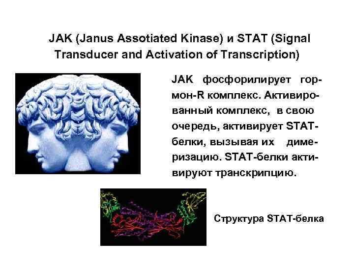JAK (Janus Assotiated Kinase) и STAT (Signal Transducer and Activation of Transcription) JAK