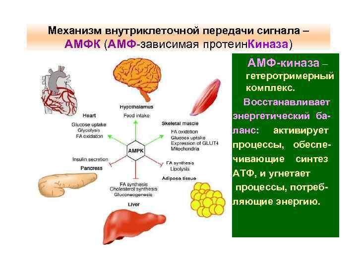Механизм внутриклеточной передачи сигнала – АМФК (АМФ-зависимая протеин. Киназа) АМФ-киназа – гетеротримерный комплекс. Восстанавливает