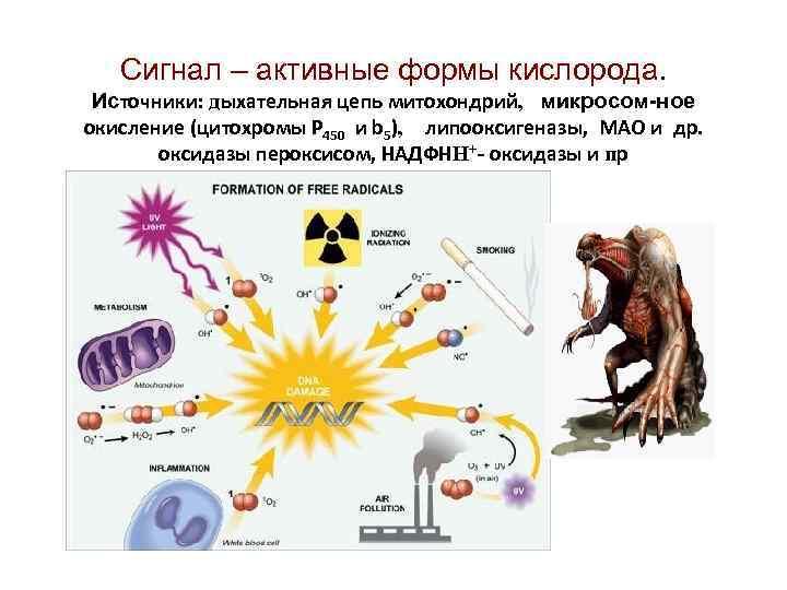 Сигнал – активные формы кислорода. Источники: дыхательная цепь митохондрий, микросом-ное окисление (цитохромы Р 450