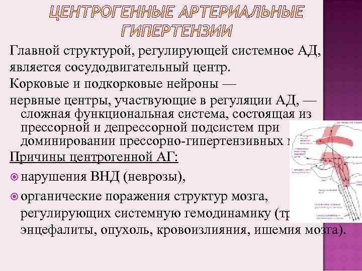 Главной структурой, регулирующей системное АД, является сосудодвигательный центр. Корковые и подкорковые нейроны — нервные