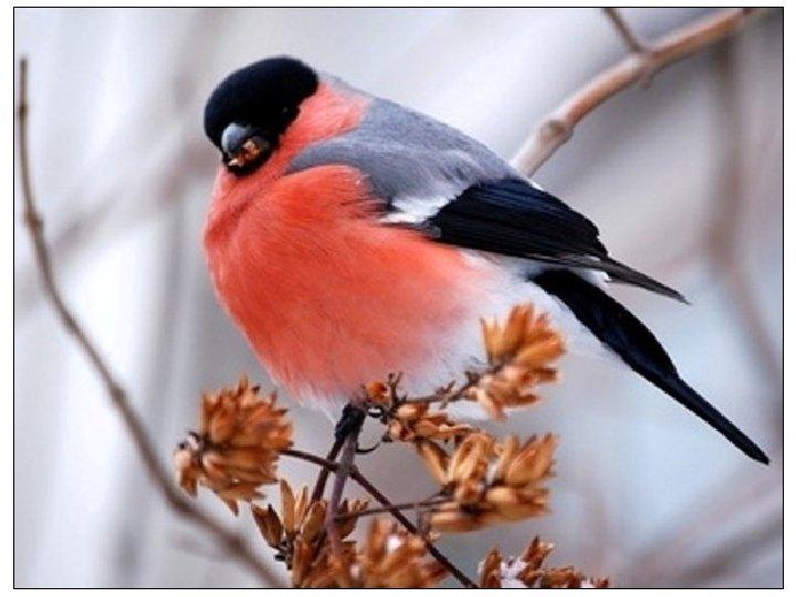Красногрудый, чернокрылый, , Любит зернышки клевать. С первым снегом на рябине Он появится опять.