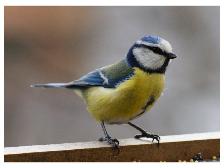 За синие крылья она так зовется. И в холод, и в зной ей так