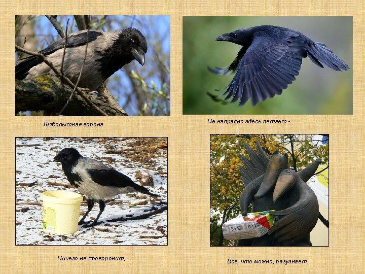 Любопытная ворона Ничего не проворонит, Не напрасно здесь летает - Все, что можно, разузнает.