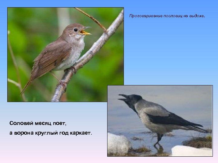 Проговаривание пословиц на выдохе. Соловей месяц поет, а ворона круглый год каркает.
