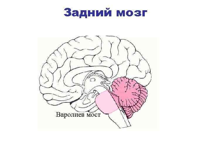 картинки мозга мост планируете получить