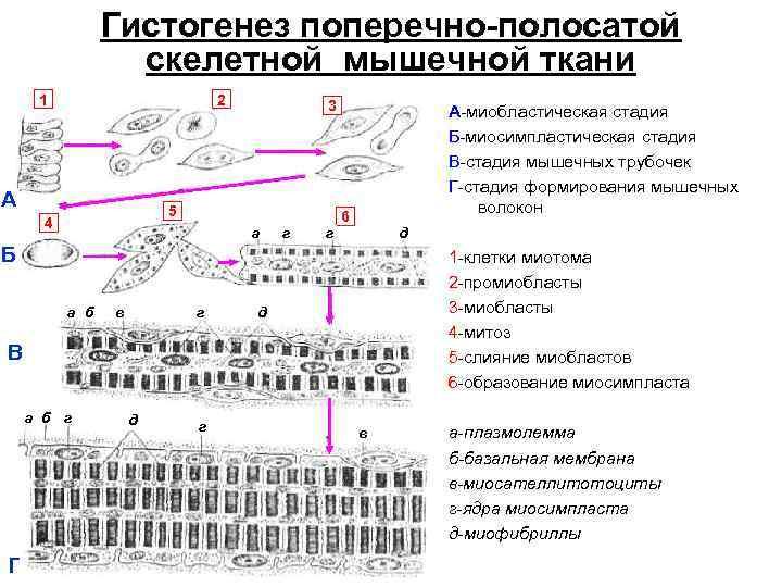 Гистогенез мышечных волокон картинка