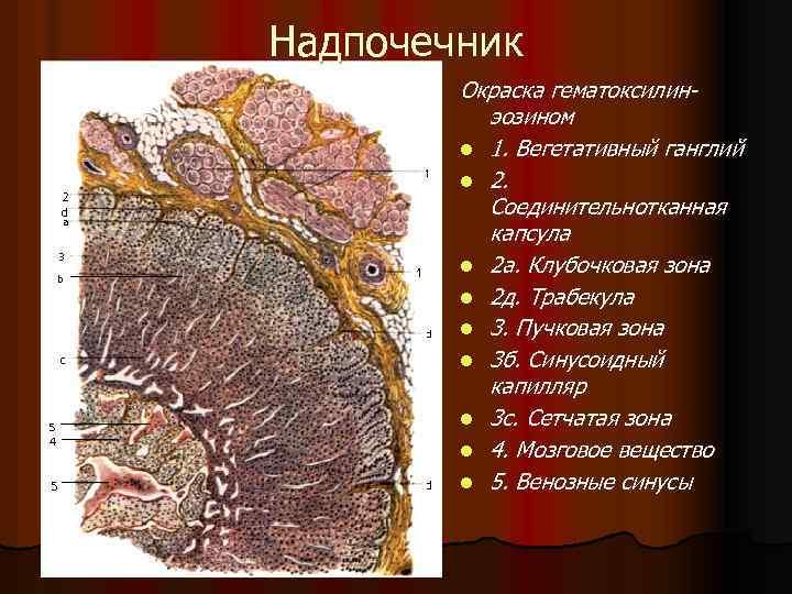 Надпочечник Окраска гематоксилинэозином l 1. Вегетативный ганглий l 2. Соединительнотканная капсула l 2 а.