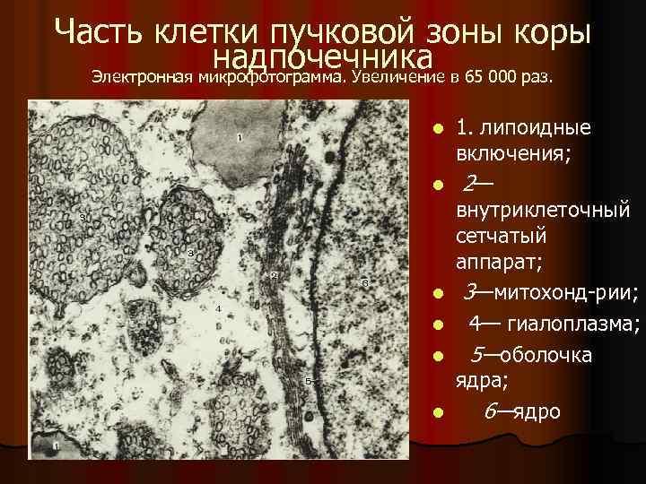 Часть клетки пучковой зоны коры надпочечника Электронная микрофотограмма. Увеличение в 65 000 раз. l