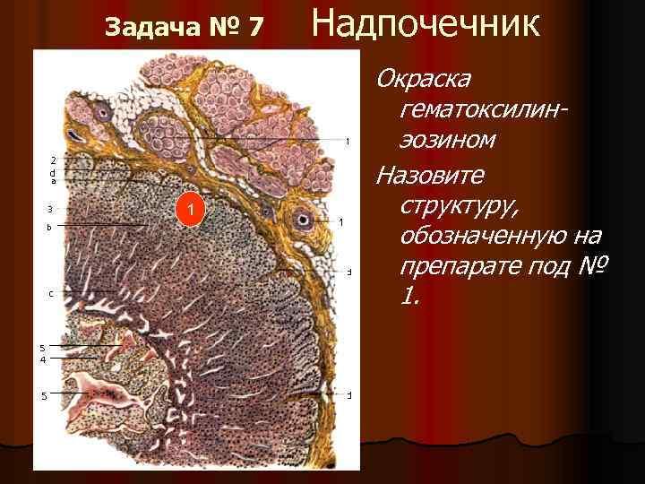 Задача № 7 1 Надпочечник Окраска гематоксилинэозином Назовите структуру, обозначенную на препарате под №