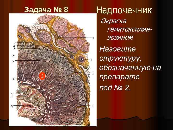 Задача № 8 Надпочечник Окраска гематоксилинэозином 2 Назовите структуру, обозначенную на препарате под №