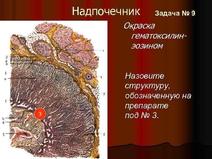 Надпочечник Задача № 9 Окраска гематоксилинэозином 3 Назовите структуру, обозначенную на препарате под №