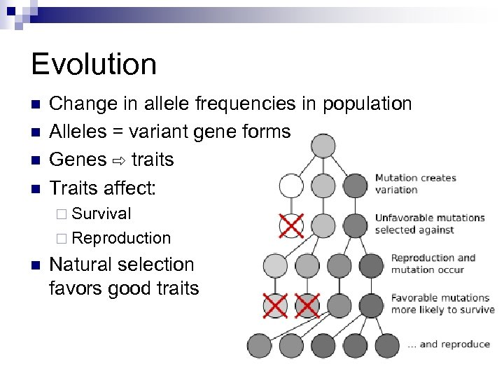 Evolution n n Change in allele frequencies in population Alleles = variant gene forms