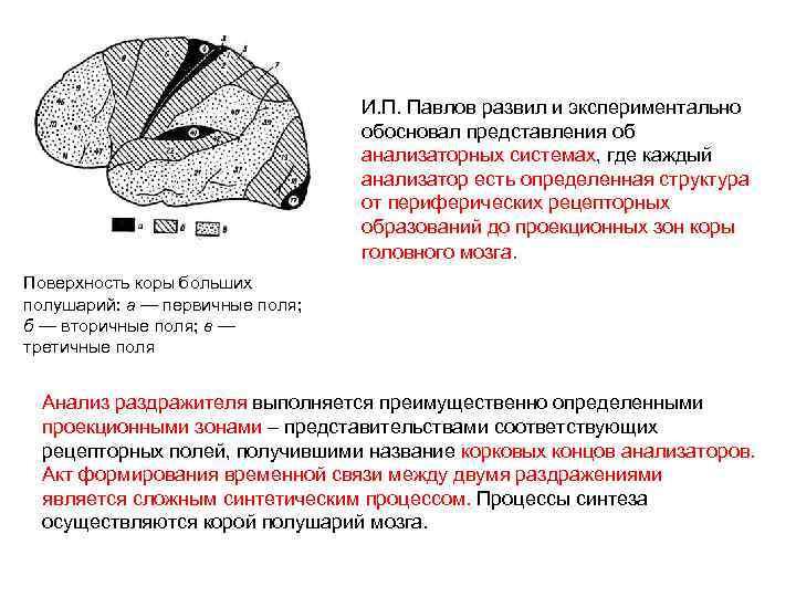 И. П. Павлов развил и экспериментально обосновал представления об анализаторных системах, где каждый анализатор